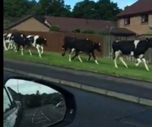 Cows filmed fleeing from police van, running farmer in Scotland