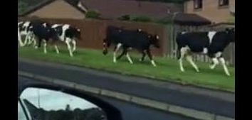 Image result for cows fleeing