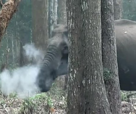 'Smoke-breathing' elephants cloudy exhales baffle scientists