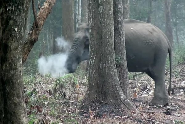 Watch Elephant Appears To Exhale Cloud Of Smoke In India