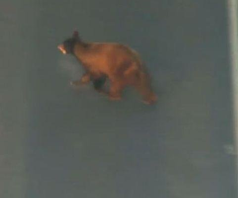 Elusive suburban bear captured in Phoenix