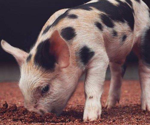 Baseball team names 'ball pig' mascot 'Alternative Fats'