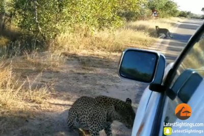 Leopard's bite punctures car tire at South African park