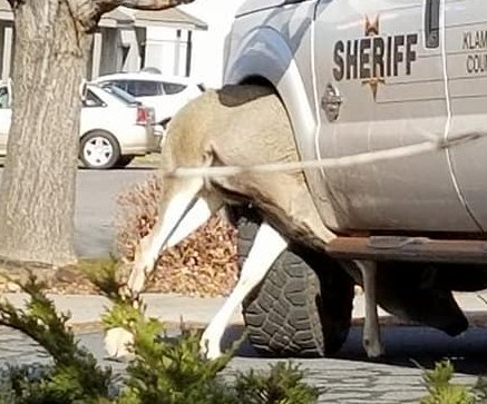 Deputies rescue deer stuck in patrol vehicle's wheel well