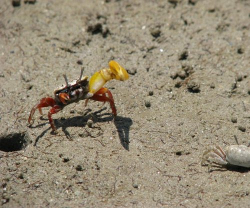 Study: Male crabs corner their mates to coerce sex