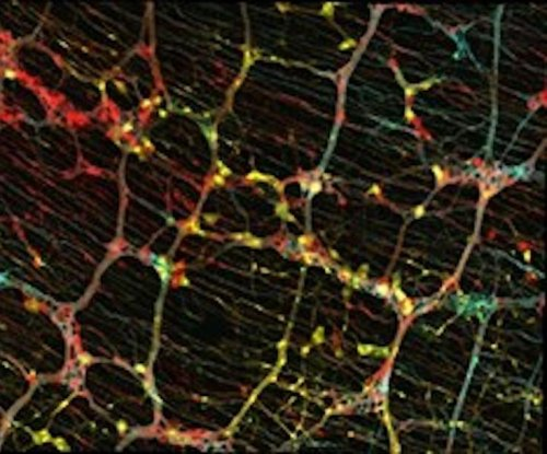 Study reveals architecture of the 'second brain,' the enteric nervous system