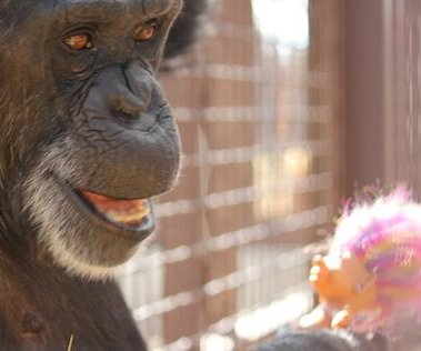 Chimpanzee celebrates 41st birthday with troll doll party