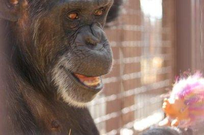 Chimpanzee celebrates 41st birthday with troll doll party