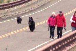 Video shows black bear chasing Yellowstone tourists away from cubs