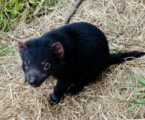 Facial tumors driving Tasmanian devil evolution