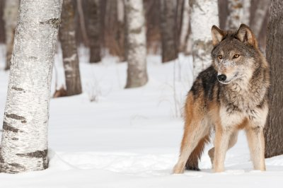 Grand Canyon wolf was shot and killed in December, feds confirm
