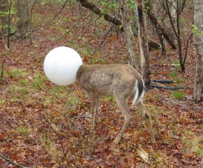 Wild deer gets head trapped in plastic light globe