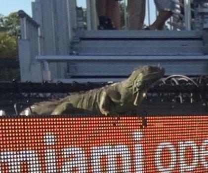 Iguana halts Miami Open, poses for selfie, runs across court