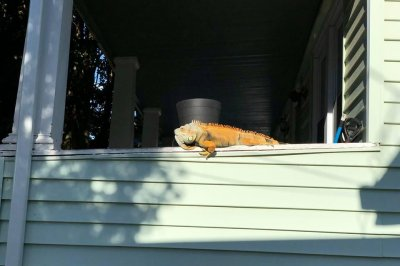 Look:-Police-in-New-Jersey-wrangle-escaped-iguana