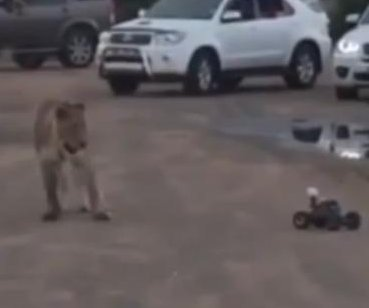 Lioness vexed by remote-controlled car at South African park