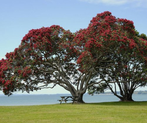 Iconic New Zealand Christmas tree has Australian roots