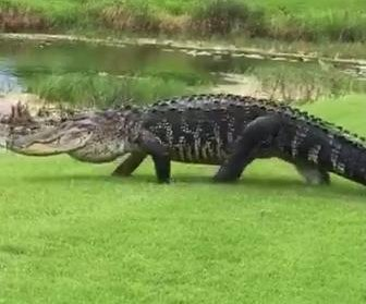 Massive alligator crosses fairway at Florida golf course