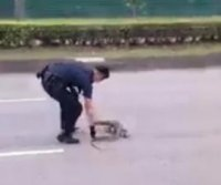 Monitor lizard rescued from busy Singapore road