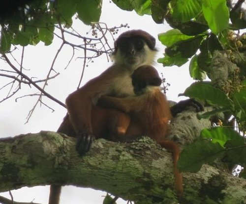 First-ever photograph of Bouvier's red colobus monkey taken in Congo