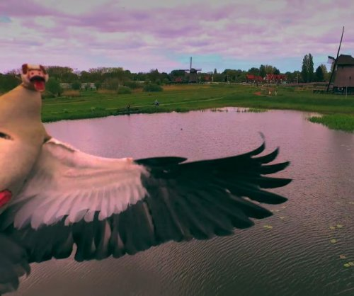 Territorial goose takes down a drone in the Netherlands