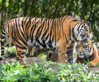 Tigers in Bangladesh threatened by poachers, declining habitats