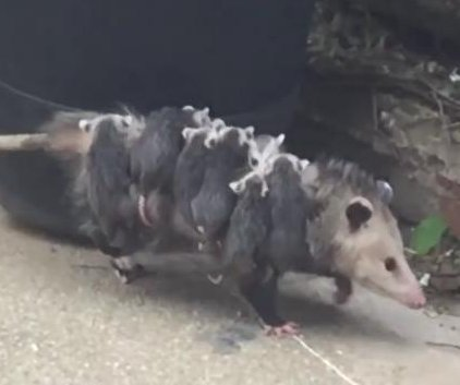 'OctoPossum' takes her babies for a stroll in New York