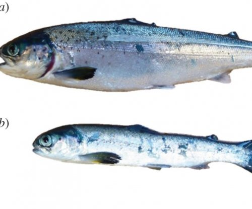 Study: Farm-raised salmon suffer from depression