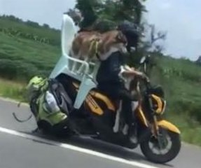 Husky rides in lawn chair tied to back of motor scooter