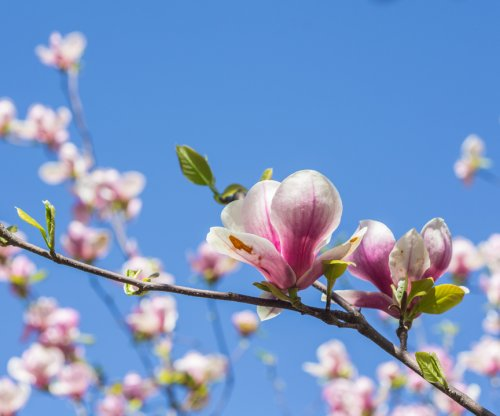 Compound in magnolia may combat head, neck cancers