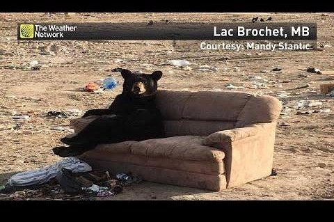 Watch Bear Sits Human Style On Discarded Sofa Upi Com