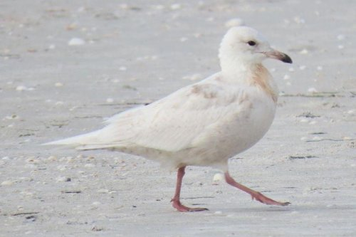 Iceland gull makes 'extremely rare' visit to Florida