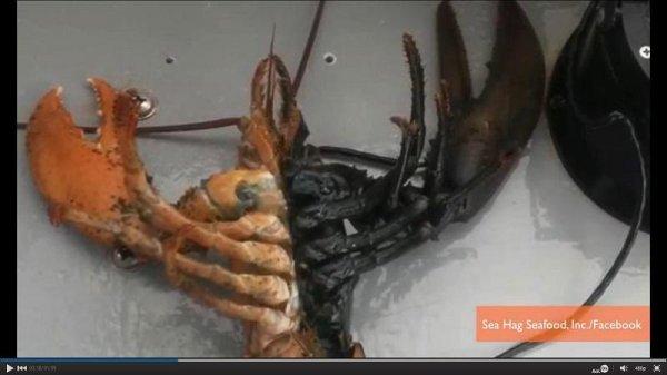 World Car Kia >> Lobsterman Ben Murdock catches rare two-toned lobster near ...