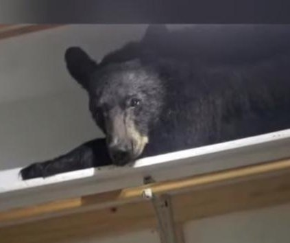 Bear breaks into Montana home, naps in closet