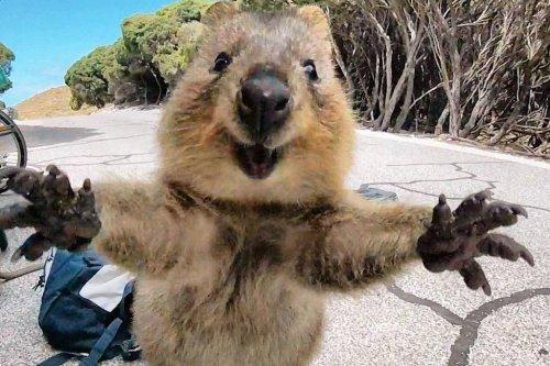 Australian cyclist's GoPro captures smiling quokka's adorable leap