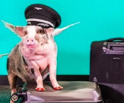 Therapy pig to meet with passengers at San Francisco airport