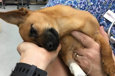 'Tough pup' recovering from heroin overdose in Texas