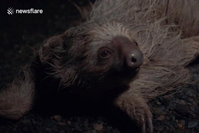 Watch:-Sloth-rescued-from-middle-of-road