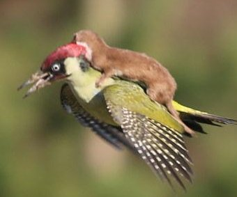 Photographer captures weasel's woodpecker ride
