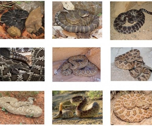 Six new rattlesnake species identified in western U.S.