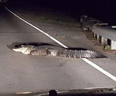 Alligator 'jaywalker' blocks car on Louisiana highway