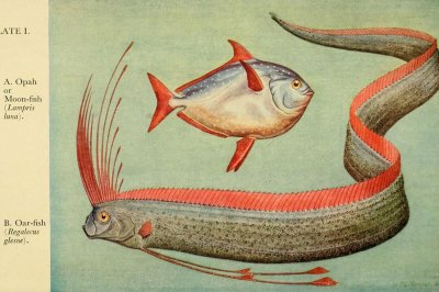 Deep-sea fish in shallow waters of Japan not an earthquake predictor
