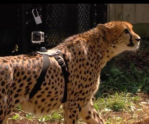 Cheetah runs with GoPro strapped to its back