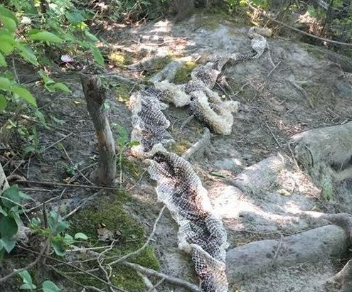 Maine police warn of large snake on the loose after skin discovery