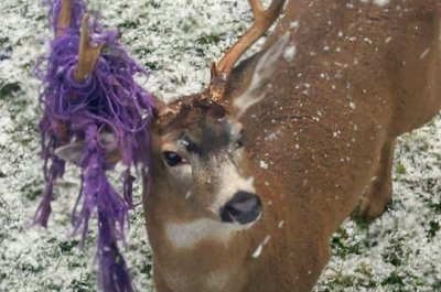 Hammy the deer wandering Canada with hammock caught in antler