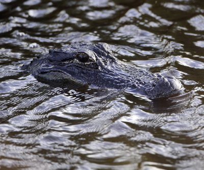 Alligator found in Kentucky Lake likely a former pet