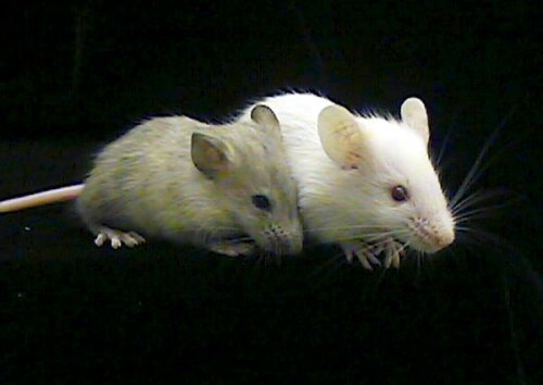 Antibody makes humanized mice immune to HIV