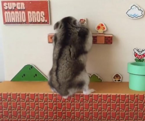 Hamster explores real-life 'Super Mario' level