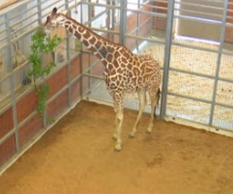Dallas Zoo live streams birth of baby giraffe