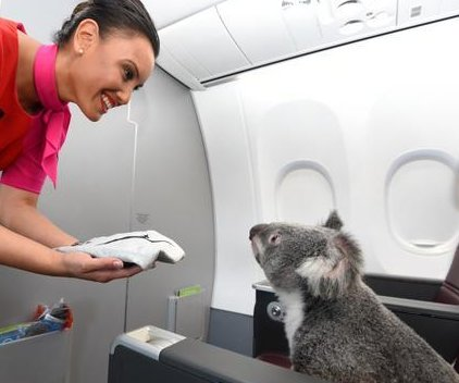 Koalas enjoy first class amenities on Qantas jet
