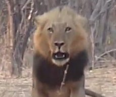 Lion charges at men filming video in South African park